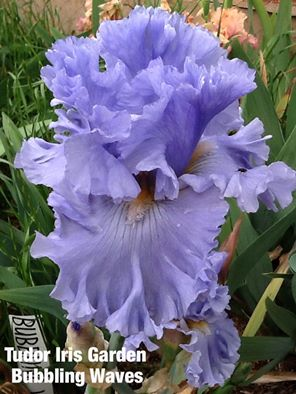 Betty Gray - Tudor Iris Gardens - Bubbling Waves