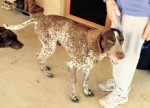 German Shorthair Dog Lost at Neales Flat