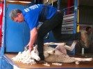 Mark Shears Last sheep in Shear Wishes 2012 - DSC02072